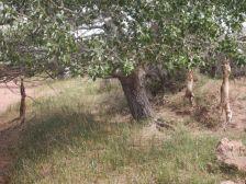 ...viele skalpierte Füchse, am Baum oder Zaungattern geben uns Rätsel auf.