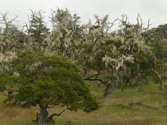 Nur bei sauberer Luft wächst ein Altmännerbart (Barba de Viejo), ...