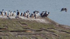 """Zudem sehen wir """"fliegende Pinguine"""", die Blauaugenscharbe, ..."""
