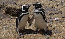 0033106_Magellan-Pinguin_Nah_Cabo_dos_Bahias