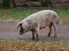 ... und dieses wohlgenährte Hausschwein.