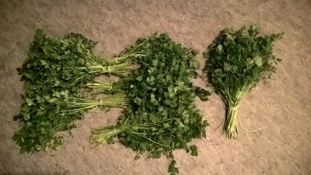 Selderij oogst (4)