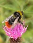 redtailed bumble bee