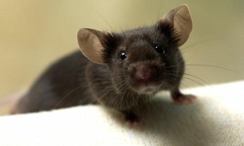 Rimedi casalinghi per sbarazzarsi dei topi  Rimedi della Nonna