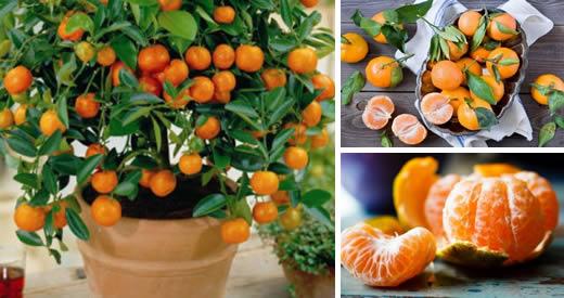 come piantare mandarino