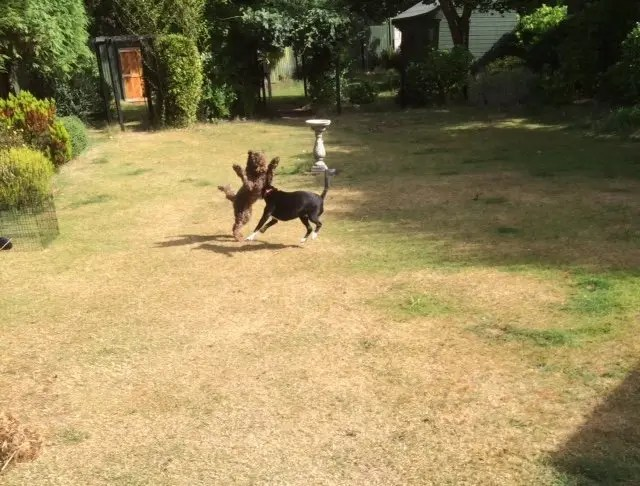 Playing in the sunshine in the garden of Ringwood Dogs