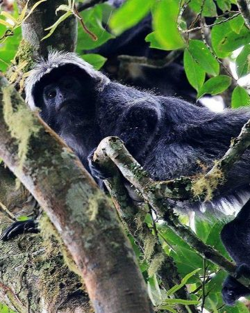 Black Monkey As Rinjani Endemic