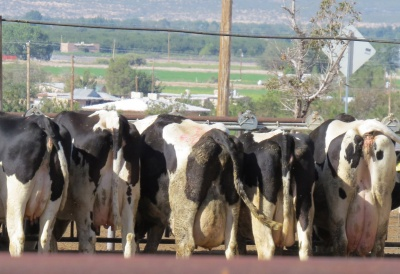 Image of dairy cows