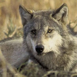 Sierra Club launches Returning Wolf to Texas Initiative