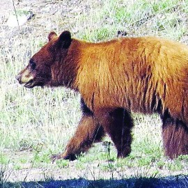 Photo of bear for article on in Sierra Club Rio Grande website on Game Commission rule changes for carnivores