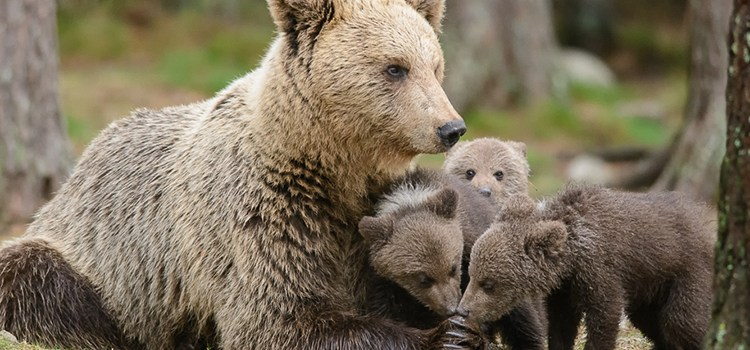 Photo of a brown bear cub for the Sierra Club Rio Grande Chapter website.