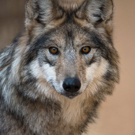 Wolf plan a path to extinction