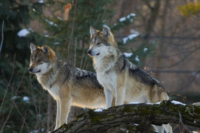 Let's return the Mexican wolf to Texas!