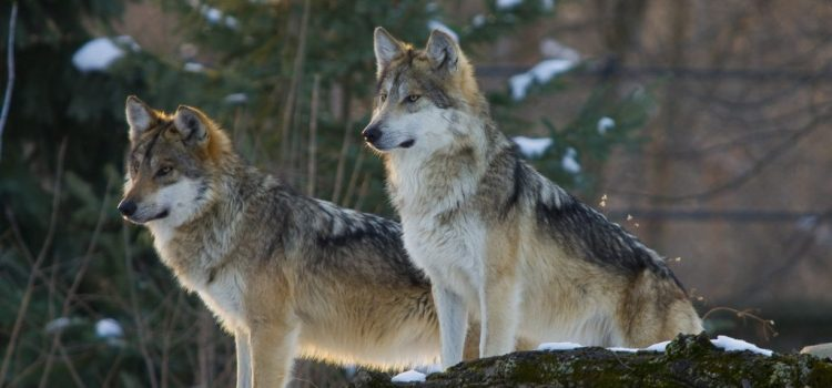 Photo of Texas Wolf for the El Paso Sierra Club group as part of a campaign to return the wolf to Texas