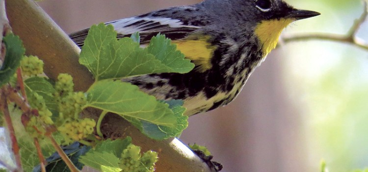 Steering out thoughts toward ravens, wrens and trees