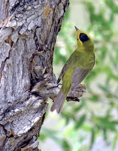 The Wilson warbler migrates through New Mexico from beyond the Arctic circle to South America!