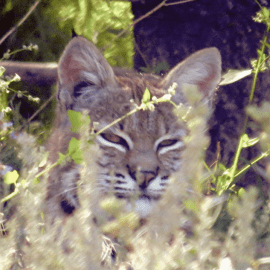 A bobcat in the bush and a partridge in a pear tree