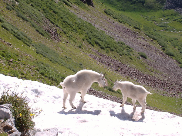 Some of the mountain goats on Buckhorn Pass.