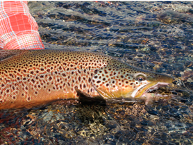 the-brown-trout-of-patagonia6