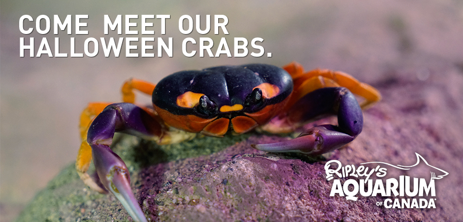 Come-Meet-our-Halloween-Crabs