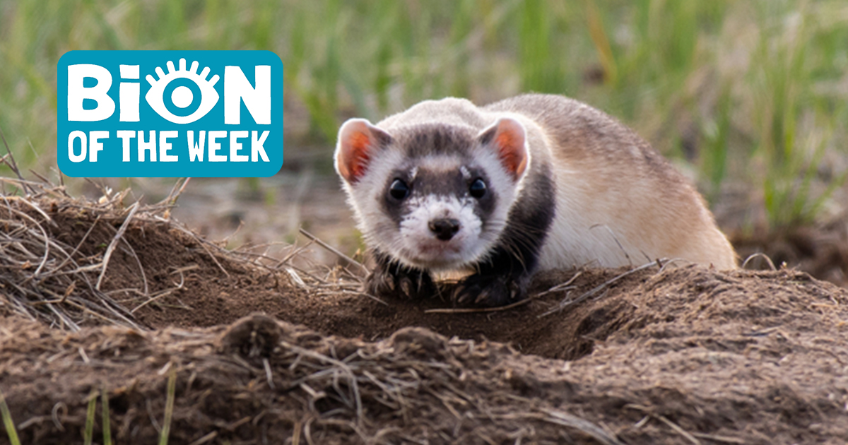 Black-Footed Ferret Lives On Thanks To Cutie Clone