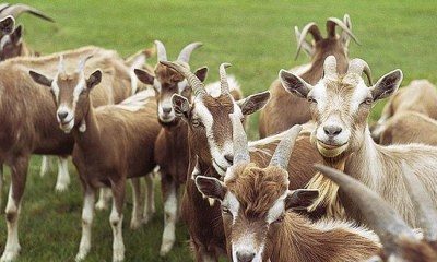 Jigawa to begin exportation of goats to Kuwait, others