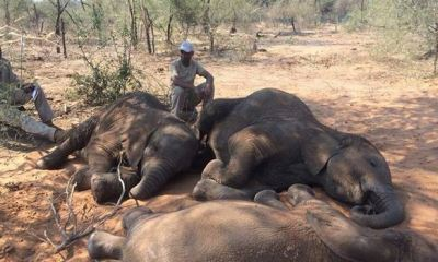 55 elephants starve to death in Zimbabwe drought