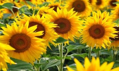 Researchers create solar energy system inspired by a flowers' ability to find light