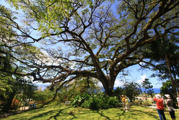 oldest tree in st kitts