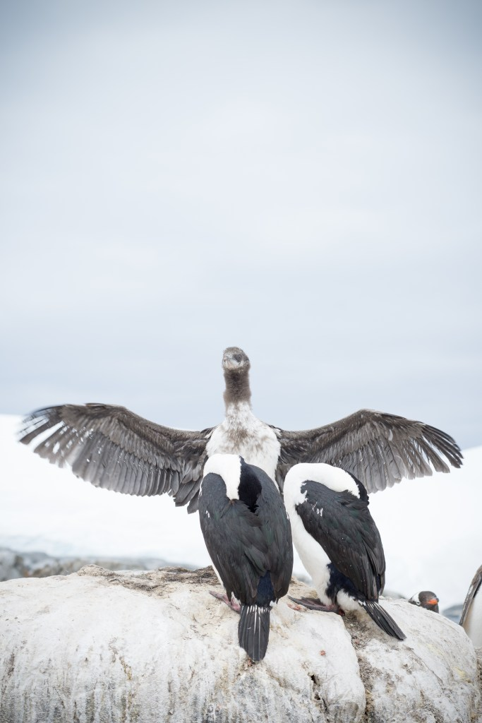A blue eyed shag testing out his wings