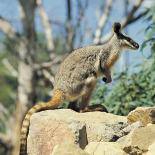 Yellow Footed Rock Wallby