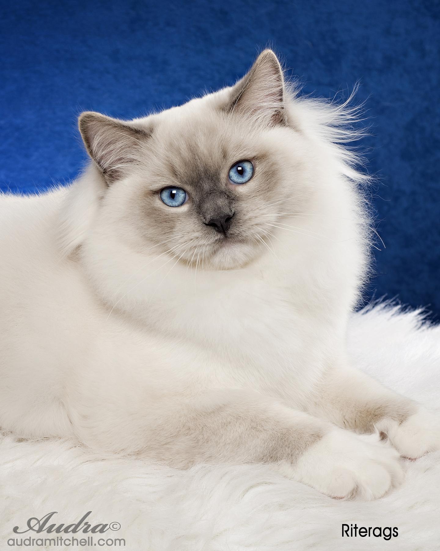 Purebred Adult Male Ragdoll Cats For Sale  Riterags Ragdolls