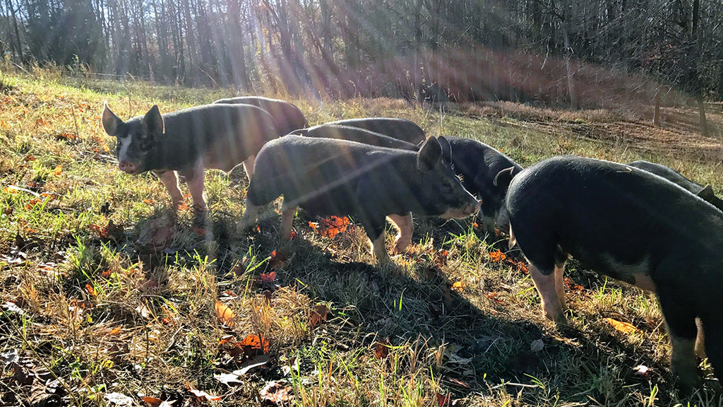 Berkshire Pigs on Pasture
