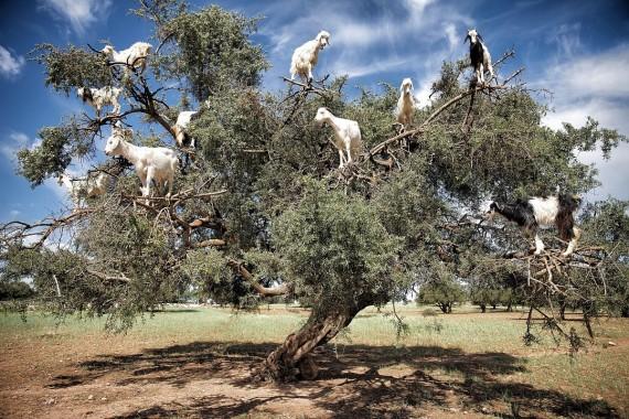 In Marocco le capre crescono sugli alberi