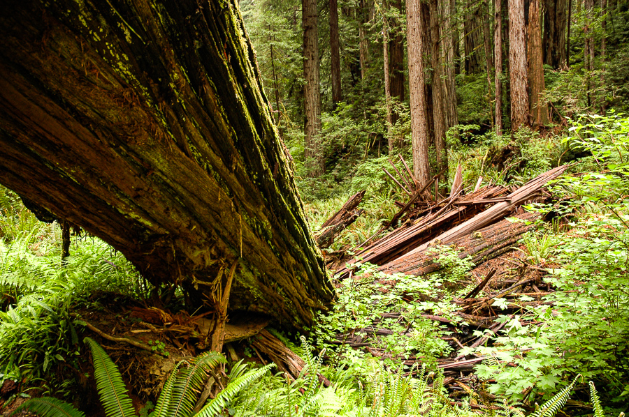 California Redwood Fallen on the Ground