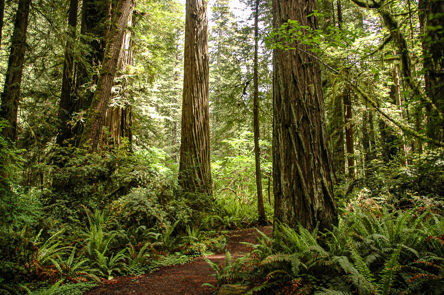 Redwood Forest Trees And Ferns
