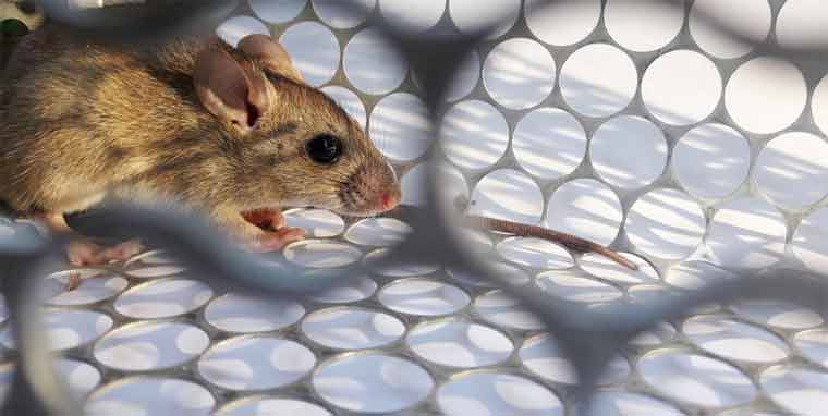 How Can you Keep rats Away From Your Home?