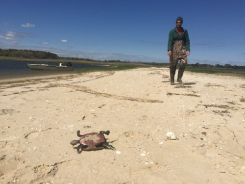 Turtle Rescue of the Hamptons has collected at least 50 bodies of dead turtles since April 21. Photo: Peter Blasl