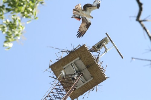 The male osprey brings back a fish for the female osprey, sitting on their eggs in the nest. Photo: Peter Blasl