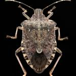 Brown-marmorated-stink-bug2 copy