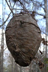 wes photo-Hornet Nest