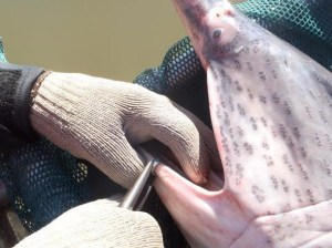 paddlefish season