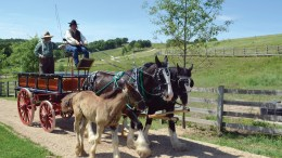 While a foal tags along with its mother, Darryl Coates and Ashlee Hughes lead a team of Shire draft horses over a farm road.