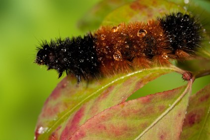 A Wooly Bear Caterpillar walks on branch early in the morning after rain.