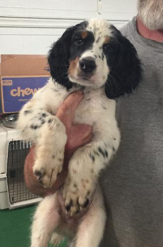 Riversides Kennel  English Setter Puppies for Sale