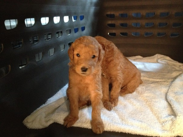 Potty Training Goldendoodle Puppy Tips