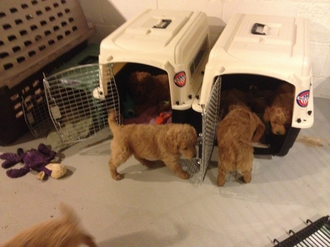 Puppy Crate Training With Goldendoodles