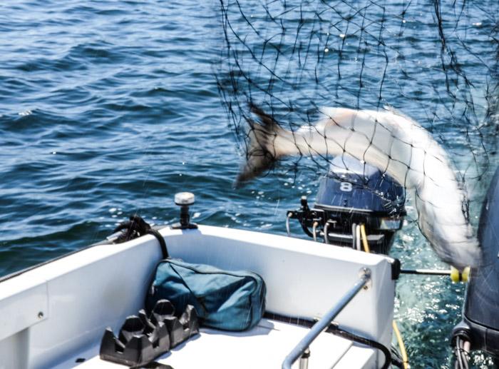 Fishing_pedderbay-0667