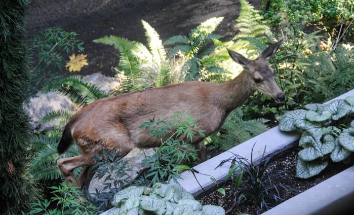 Deer-5681