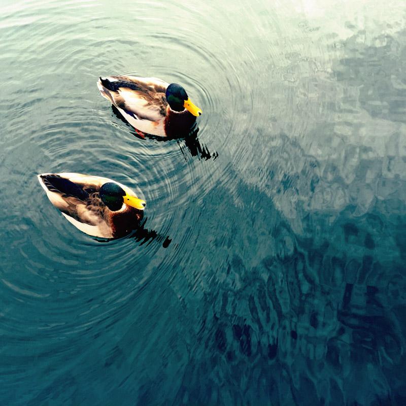 Ducks-3053
